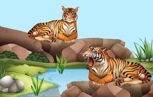 Twee tijgers bij de vijver