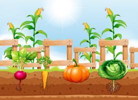Landbouw Groenten en ondergrondse wortel