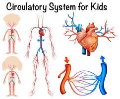 Bloedsomloop voor kinderen vector