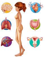 Een menselijke anatomie en een orgel vector