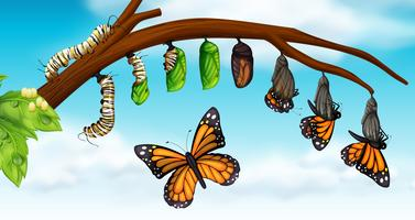 Een vlinder levenscyclus vector