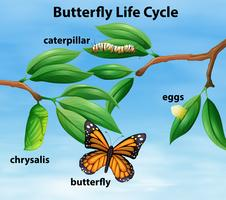 Butterfly levenscyclus diagram vector