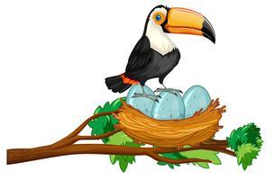 toekan zittend op nest van eieren