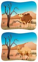 Twee scènes van kameel in woestijn