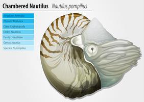 Nautilus-Nautilus pompilius vector