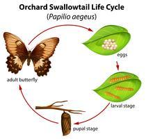 Boomgaard-levenscyclus van de zwaluwstaart vector