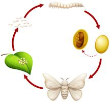 Levenscyclus van een zijderups vector