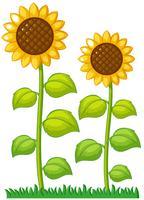 Twee zonnebloemen in de tuin