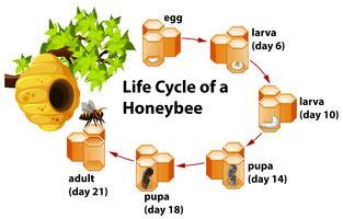 Levenscyclus van een honingbij vector