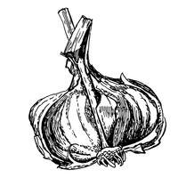 gravure illustratie van knoflook op witte achtergrond
