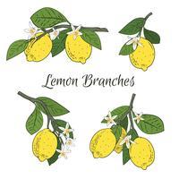 Stel een verzameling takken met citroenen, groene bladeren en bloemen. Citrusvruchten die op witte achtergrond worden geïsoleerd. Vector illustratie