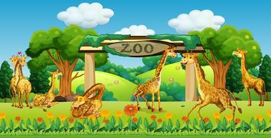 Een giraffamilie in de dierentuin