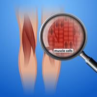 Menselijke anatomie spiercellen vector