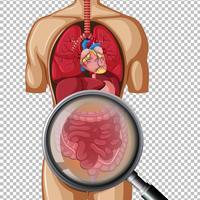 Menselijke anatomie van de darm vector