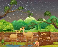 Twee kamelen in de dierentuin op rainny dag vector