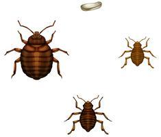 Levenscyclus van bed bugs vector