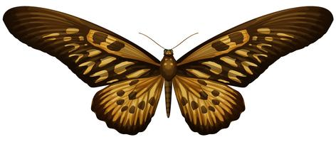 Reuze Afrikaanse Swallowtail - antimachus van Papilio vector