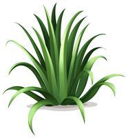 agave bracteosa vector