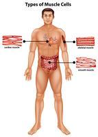 Diagram met soorten spiercellen vector