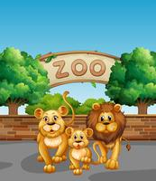 Leeuwenfamilie in de dierentuin