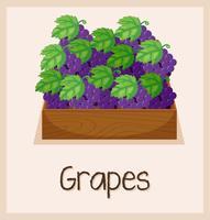 Een druivenmand op witte achtergrond vector
