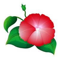 Morning glory in rode kleur vector