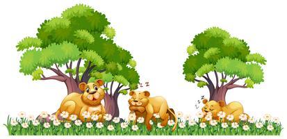 Drie leeuwen rusten in het veld