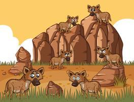 Veel hyena's in het veld