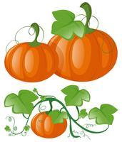Pompoenen op groene wijnstok vector
