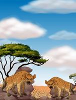 Twee wilde hyena's in het veld vector
