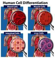 Een set van menselijke cel differentiatie vector