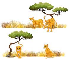 Cheetah in het veld