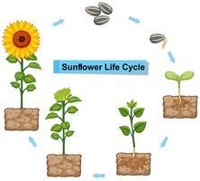 Diagram dat levenscyclus van zonnebloem toont