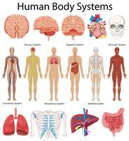 Diagram dat menselijke lichaamssystemen toont