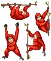 Orangoetan
