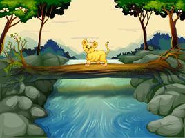Een jonge tijger die de rivier oversteekt