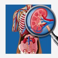 Een menselijke anatomie van de nieren vector