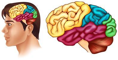Diagram met verschillende delen van het menselijk brein