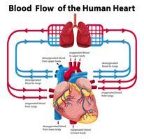 Diagram dat de bloedstroom van het menselijk hart laat zien vector
