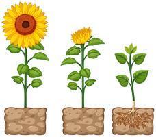 Zonnebloemen die van de grond groeien