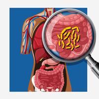 Mens met darmflora vector