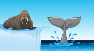 Een walrus op ijsschots