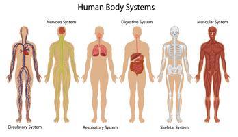 Menselijk lichaamssystemen vector