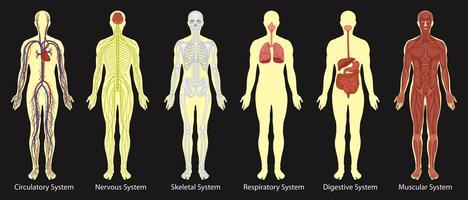 Diagram van systemen in het menselijk lichaam