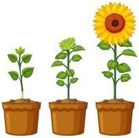 Drie potten zonnebloemplanten vector