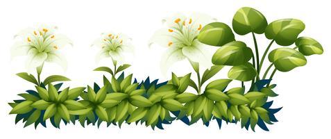 Witte leliebloemen in groene struik