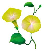 Morning glory bloem in gele kleur vector