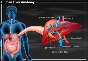 Diagram van de menselijke leveranatomie
