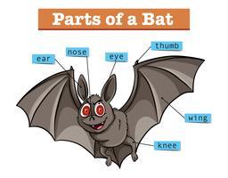Diagram met delen van de vleermuis