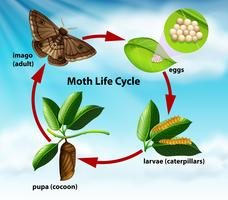 Een levenscyclus van een mot vector